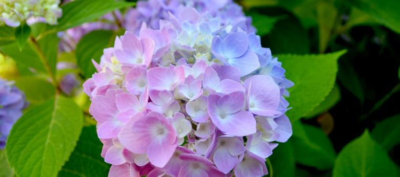 Have Your Hydrangeas Changed in Color?