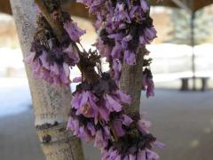 Bud Damage on a Redbud