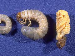 Stages of Masked Chafer Grubs