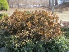 Winter Burn on Holly
