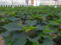CT Grown Poinsettias