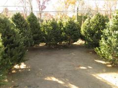 Garden Barn Christmas Trees
